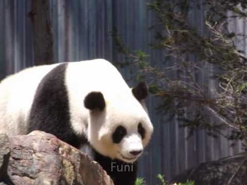 Pandas in Adelaide Zoo - Music by Siobhan Owen