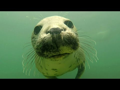 video: Watch: Grey seal captured clapping its flippers for the first time