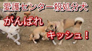 【関連動画】 保健所から来た噛み犬!?愛護センターしっかりして下さい...