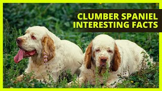 CLUMBER SPANIEL | Interesting facts you might not know about the Clumber Spaniel