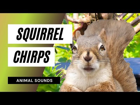 The Animal Sounds: Squirrel Chirps - Sound Effect - Animation - YouTube