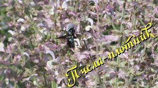 Пчела-плотник Xylocopa valga