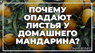 почему опадают листья у домашнего мандарина?  toNature.Info