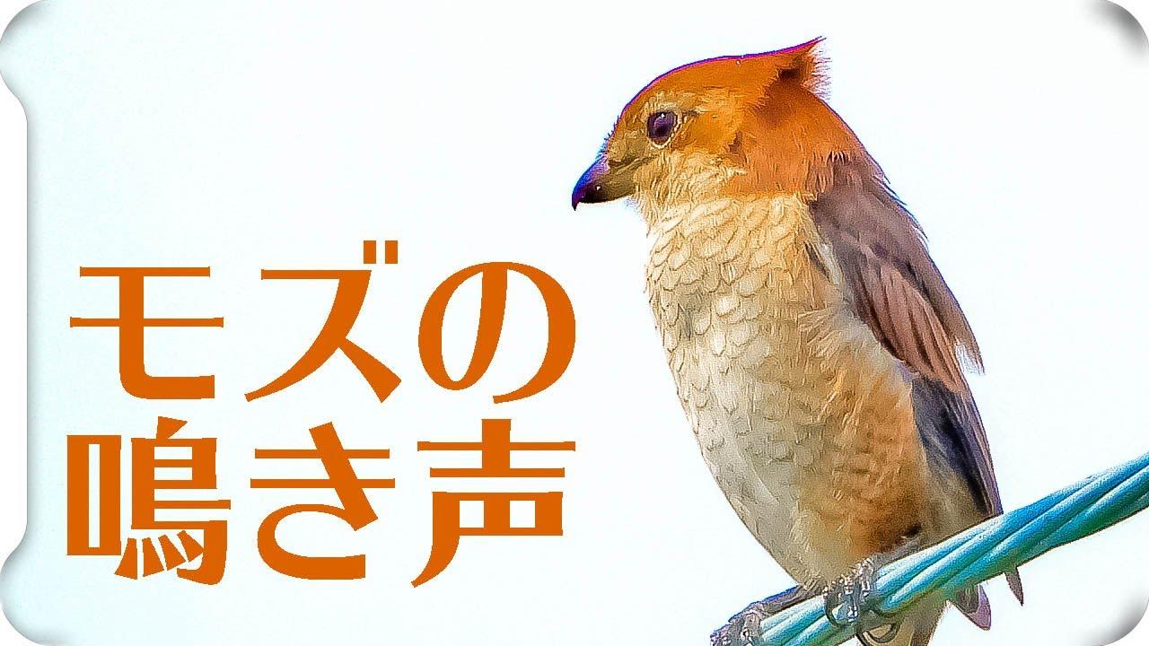ず 鳴き声 も 鳴き声が脳裏に…鳥インフル殺処分、涙を浮かべる職員:朝日新聞デジタル