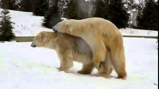 Спаривание белых медведей. Зоопарк Прага / Maiting polar bears. Praha Zoo