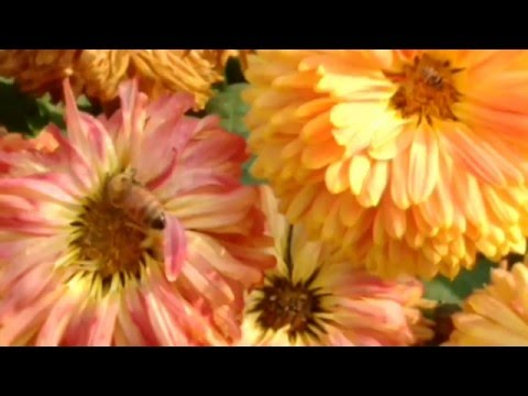 How honeybees taking food from flowers - How Do Bees Make Honey - plants - drone - pbs - nectar