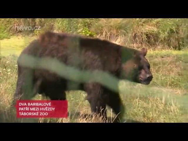 Reportáž TV Nova   Medvědi baribalové a Emu
