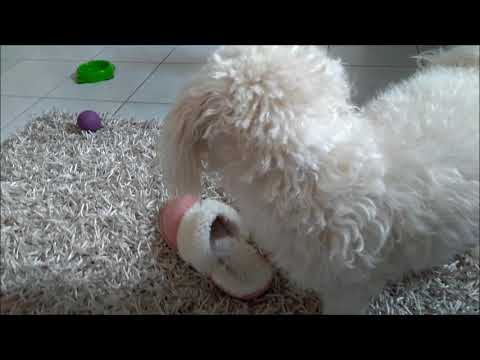 Cute Maltese Dog Playing With Socks | Maltese Dog Puppy Steals Socks and Flipflops | LoonieDIY
