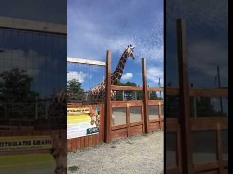 Thumbnail: Animal Adventure park April the giraffe