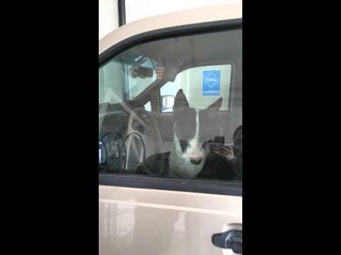 Bull terrier driving car