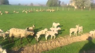 Moutons et Agneaux dans la prairie qui s'amuse