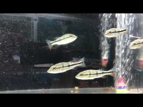 Temensis Peacock Bass For Sale
