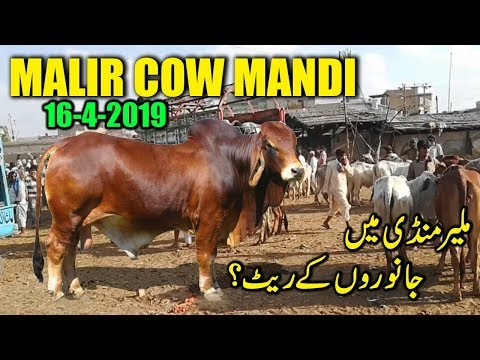 Malir Cow Mandi Karachi Latest Update 16-April-2019 - Cow Mandi Karachi Cattle Rate