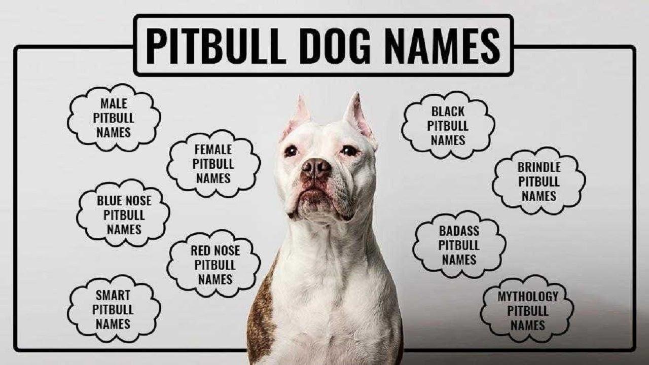 Best Pitbull Dog Names For All Pitbull Types | Petmoo