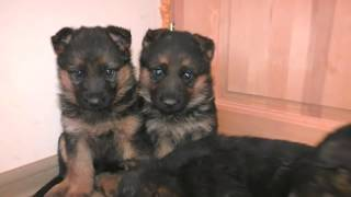 ПРОДАЮТСЯ ЩЕНКИ Немецкой овчарки Одесса! For sale puppies German shepherd!