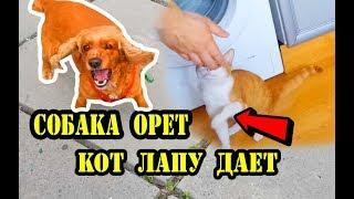 Собачий ВЛОГ: Собака орет, кот лапу дает. Спаниель Сёма.