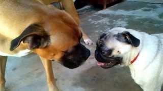 Pug Vs Boxer