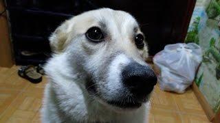ПОЮЩАЯ СОБАКА  / SINGING THE DOG