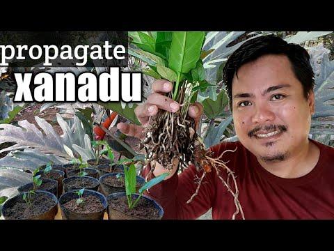 PROPAGATE PHILODENDRON XANADU / WINTERBBOURN PLANT.