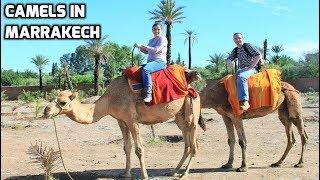Dromedary Camels in Marrakech Morocco near Menara Gardens