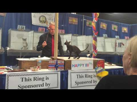 MYSTERY at Garden State Cat Show 2016..