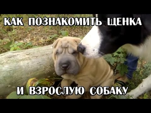 Как подружить взрослую собаку и щенка