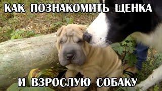 Как познакомить щенка со взрослой собакой. Социализация щенка / Socializing