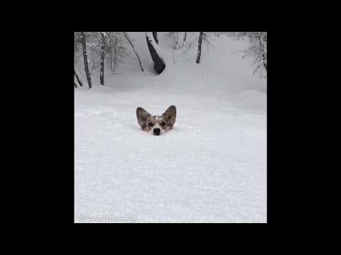 Mack in the Afternoon - A Corgi is Up to Its Ears in Snow