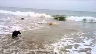 Labrador Retriever's First Ever Dive Into The Pacific Ocean