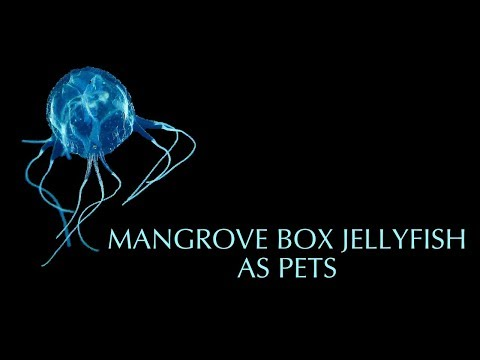Pet Mangrove Box Jellyfish - Jellyfish Warehouse