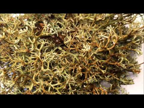 Time-lapse of lichen transforming when wet