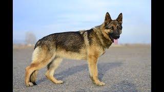 Обучение собаки поиску запаха человека ч 2 ( поиск Предмета) -Лпх Дом Велеса - жизнь за городом