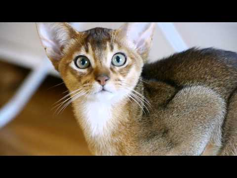 Abyssinian cats filmed with Panasonic Lumix GH2