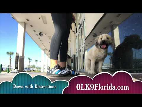 "1 1/2 yr old Wheaten Terrier ""Riley"" Palm Bay Dog Trainers 