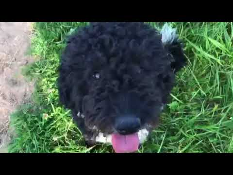 Шерсть Испанской водяной собаки
