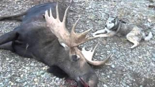 far eastern russia magadan giant moose hunt with latvian safari club