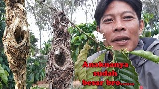 Download Mp3 Sarang Burung Kolibri Di Pohon Yang Rendah Anakanya Sudah Besar