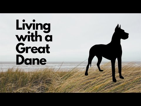 Living with a Great Dane [story]