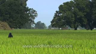 Fertile arable lands of Uttar Pradesh green with seasonal crops!