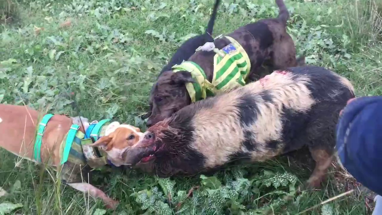 Pig Hunting Australia With Dogs