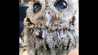 Blind Owl (have stars in her eyes )