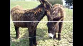Zwei wunderschöne, wuschelige und unzertrennliche Poitou-Esel; Amelie und Bonita