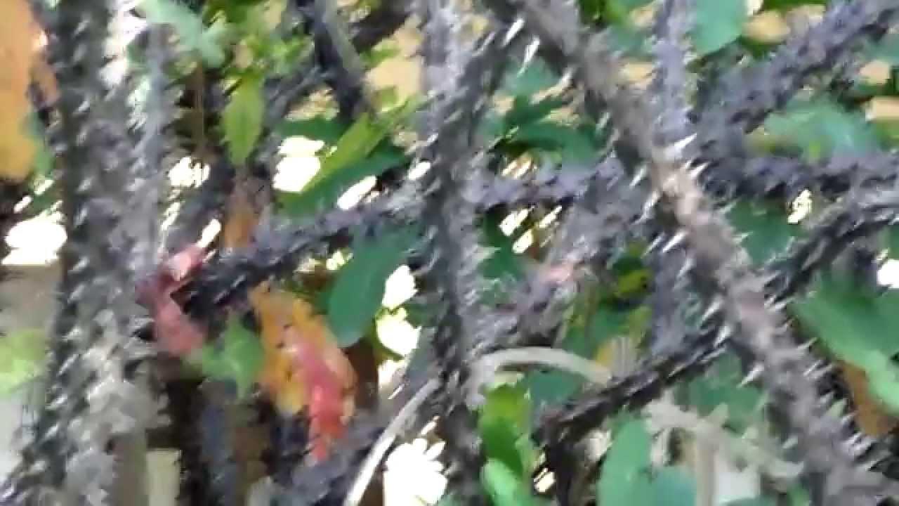 Cerco de espinas la planta corona de cristo youtube - Plantas para vallas ...