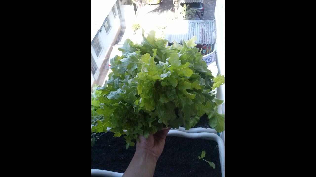 Super Como Plantar Alface ( Tudo Orgânico) - YouTube IO77