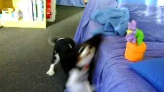 Cavalier King Charles Spaniel Attacking Gm Sunflower