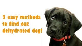 Dog Care Labrador- 2 Signs Of Dehydrated Dog