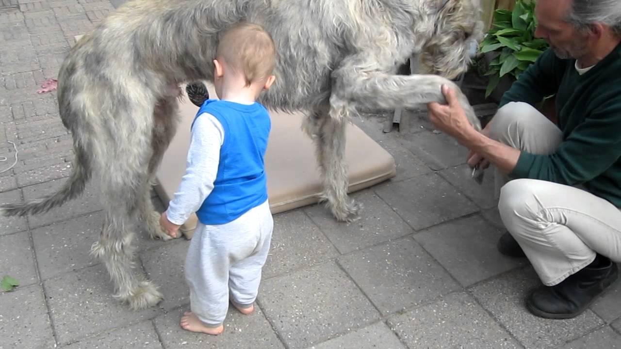 Ierse Wolfhond | 1280 x 720 jpeg 99kB