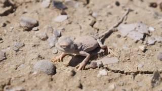Круглоголовка Саид-Алиева(2). Палеонтологическая экспедиция в горах Сары-Тоо. Баткенской области.
