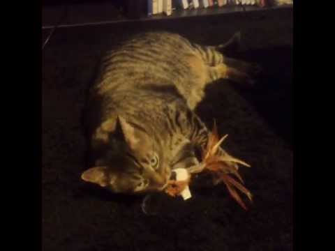 Pension Pour Chats - Thomas With His New Toy