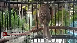Suara Burung Ciblek Sawah PEMIKAT GACOR , Ampuh Bikin Prenjak Alang Liaran Langsung NYAUT Nyamperin